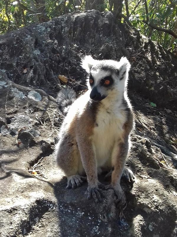 Lemur kata. Kráľ Julien / Jelimán.