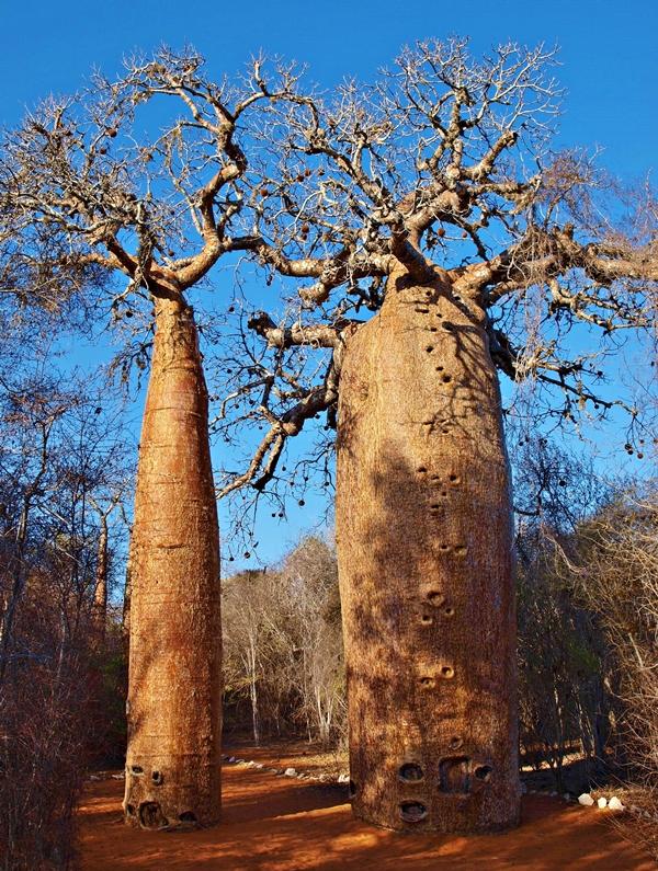 Baobaby rubrostipa, známe aj pod menom fony